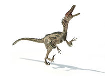 Velociraptor dinosaur, scientifically correct, with feathers. Drop shadow on white background. Clipping path included Royalty Free Stock Images