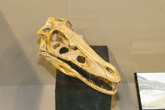 Velociraptor Skull Cast Stock Photo
