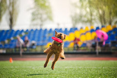 Velshterer dog catching the flying disc Stock Photo