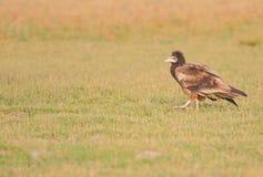 Velture égyptien marchant dans l'herbe Photographie stock libre de droits