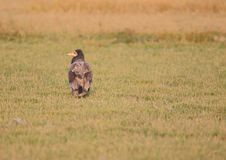 Velture égyptien marchant dans l'herbe Photo stock