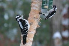 Velu contre le pivert duveteux sur un conducteur d'oiseau en hiver Photo stock