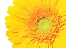 Veludo do gerber do Close-up quadrado Fotos de Stock Royalty Free