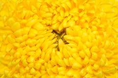 Veludo do gerber do Close-up quadrado Foto de Stock Royalty Free