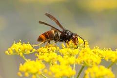Velutina della vespa immagine stock libera da diritti