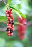 Velutinosum Blume Antidesma Στοκ Εικόνες