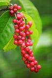 Velutinosum Blume Antidesma Στοκ εικόνες με δικαίωμα ελεύθερης χρήσης