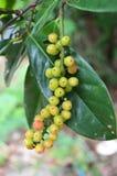 Velutinosum Blume Antidesma Στοκ Εικόνα