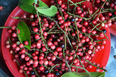 Velutinosum Blume Antidesma Στοκ φωτογραφίες με δικαίωμα ελεύθερης χρήσης