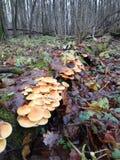 Velutipes Flammulina стоковое фото