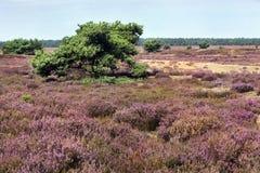 Veluwe heather landscape. In the Netherlands Stock Photography