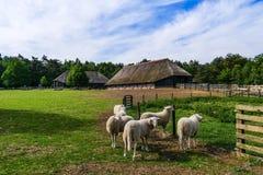 Veluweschapen bij schapenafwijking Ermelo, Nederland stock afbeelding