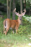 Velvet. Large whitetail Buck in late summer velvet Stock Photography