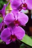Velvet. Image taken Erie county Botanical Gardens,Buffalo,New York, orchid show stock photos