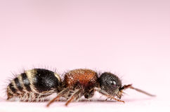 Velvet ant Royalty Free Stock Photography