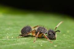 Velvet Ant. Black Velvet Ant on green leaf Royalty Free Stock Photos