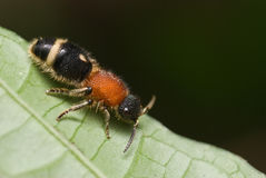 Velvet ant aka cow killer Royalty Free Stock Image
