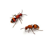 Velvet Ant. (Timulla euterpe) on a white background Stock Photos
