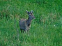 Fallow deer. Velvet antlered fallow deer takes a stroll through long grassed meadow field near Applecross west scotland royalty free stock image
