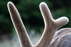Velvet Antlers. Close view of the velvet antlers on a bull elk in the spring Royalty Free Stock Photography
