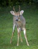 Velvet antlers Stock Photography
