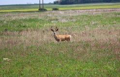 Velvet antlers young mule deer buck. Summer ungalate male alone field wildlife royalty free stock photo