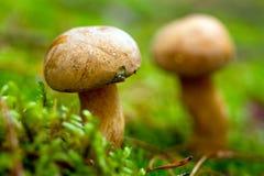 Velvet bolete mushroom close up. In the forest Stock Images