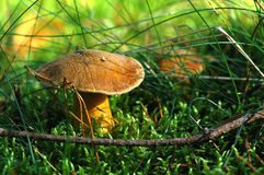 Velvet bolete mushroom. (Suillus variegatus) growing in the forest Royalty Free Stock Photography