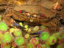 Velvet crab (Polybius puber) - Rade de Brest, 2005. Underwater picture in the Bay of Brest (France Royalty Free Stock Photography