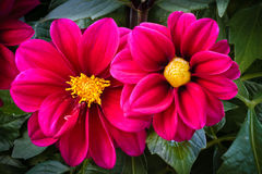 Velvet Dahlia. The dahlia is one of the most beautiful plants to photograph Royalty Free Stock Photos