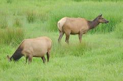 Velvet Elk Stock Images
