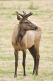 Velvet Elk Royalty Free Stock Images