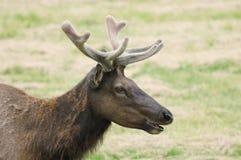 Velvet Elk Royalty Free Stock Photos