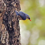 Velvet-fronted Nuthatch Stock Photography