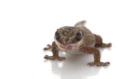 Velvet Gecko Stock Images