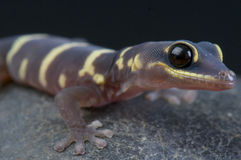 Velvet gecko / Oedura monilis Royalty Free Stock Photo