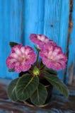 Velvet Gloxinia flower in a flower pot. Stock Photo