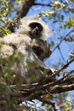 Velvet Monkey And Baby Stock Photography