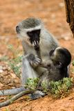 Velvet monkey and baby Royalty Free Stock Image