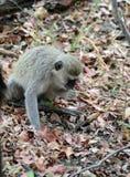 A Velvet Monkey Foraging Tom Wurl Royalty Free Stock Photography