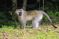 Velvet Monkey Living Freedom In The Wild In South Africa Royalty Free Stock Images