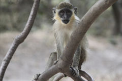 Velvet monkey sitting on a branch. Single velvet monkey sitting on a tree branch Stock Photos