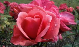 Velvet pink rose with dew drop Royalty Free Stock Photo