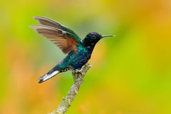 Velvet-purple Coronet, Boissonneaua jardini, dark blue and black hummingbird sitting on green lichen branch in the tropical forest Royalty Free Stock Images