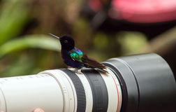 Velvet-purple Coronet (Boissonneaua jardini). Portrait of a curious,colorful hummingbird perching on  a photographer's lens,Mindo,Ecuador Stock Photography