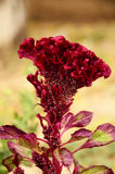 Velvet red flower in autumn with seeds. On morning sun Stock Images