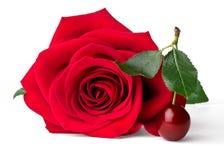 Velvet red rose and cherry Royalty Free Stock Photo
