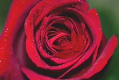 Velvet rose bud and waterdrops... Royalty Free Stock Image
