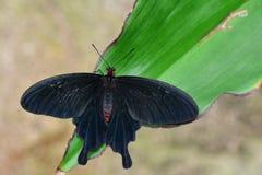Velvet Rose swallowtail butterfly Stock Photo