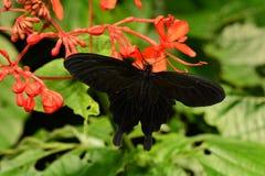Velvet Rose Swallowtail Royalty Free Stock Photos
